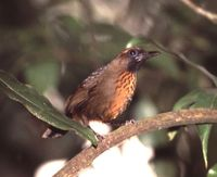 Orange-breasted Laughingthrush - Garrulax annamensis