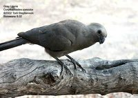 Gray Go-away-bird - Corythaixoides concolor