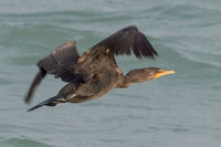 Double-crested Cormorant (Phalacrocorax auritas)