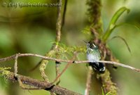 Wedge-billed Hummingbird - Augastes geoffroyi