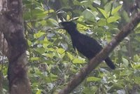 Long-wattled Umbrellabird - Cephalopterus penduliger