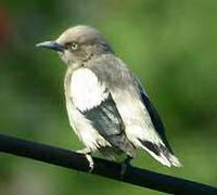 White-shouldered Starling - Sturnia sinensis