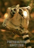 Ringtail Lemur in Tree stock photo