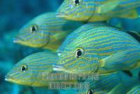 Blue striped grunt ( Haemulon sciurus ) , cuba stock photo