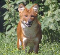 dhole photo Cuon Alpinus