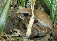 : Bufo guttatus; Smooth-sided Toad