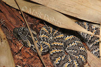 : Acanthophis rugosus; Rough-scaled Deathadder