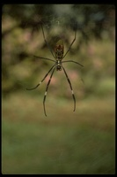 : Nephila sp.; Chinese Spider