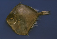 Xenolepidichthys dalgleishi, Spotted tinselfish:
