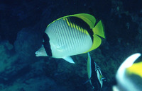 Chaetodon lineolatus, Lined butterflyfish: fisheries, aquarium