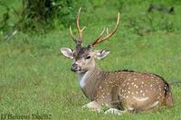 Image of: Axis axis (chital)