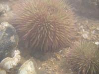 Psammechinus miliaris - Green Sea-urchin