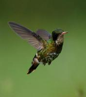 Image of: Lophornis helenae (black-crested coquette)