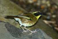 Yellow throated Scrubwren