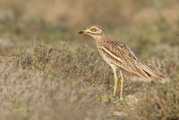 European Stone-Curlew (Burhinus oedicnemus) photo