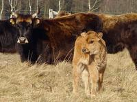 Kuh mit Kalb - Heck cattle: cow and calf