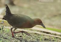 Ruddy-breasted Crake » Porzana fusca