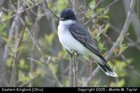 Eastern Kingbird - Ohio