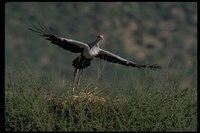 : Sagittarius serpentarius; Secretary Bird