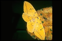: Eacles imperialis; Imperial Moth