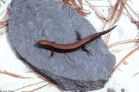 : Scincella lateralis; Little Brown Skink