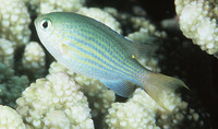 Chromis lineata, Lined chromis: aquarium
