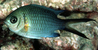 Chromis xanthochira, Yellow-axil chromis: