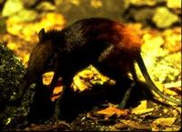 Image of: Rhynchocyon chrysopygus (golden-rumped elephant-shrew)