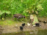 Gallinula chloropus - Common Moorhen