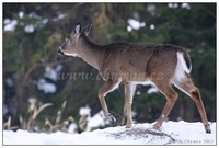 Odocoileus virginianus - White-tailed Deer