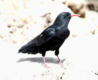 Image of: Pyrrhocorax pyrrhocorax (red-billed chough)