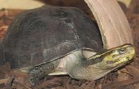 Image of: Cuora amboinensis (southeast asian box turtle)