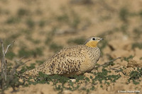 Spotted Sandgrouse - Pterocles senegallus
