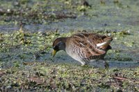 Sora Rail - Porzana carolina