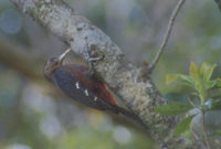 Pryer's (Okinawa) Woodpecker (Sapheopipo noguchii) photo
