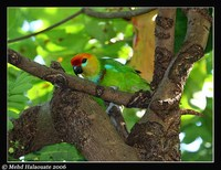 Large Fig-Parrot - Psittaculirostris desmarestii