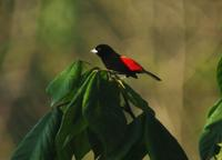 Cherrie's Tanager side view