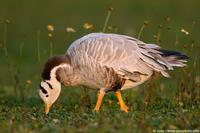004034 - Anser indicus (Bar Headed Goose)