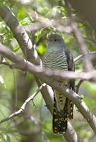 Oriental or Common cuckoo C20D 03214.jpg