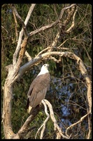 : Haliaeetus leucogaster; White-bellied Sea Eagle