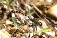 : Onychogomphus forcipatus; Green-eyed Hook-tailed Dragonfly