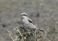 Juvenile Saxaul Grey Shrike. Photo © A. Braunlich