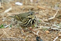 Fig. 3. Olive-backed Pipit : 힝둥새