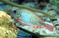 Sparisoma chrysopterum, Redtail parrotfish: fisheries, aquarium