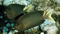 Siganus stellatus, Brownspotted spinefoot: fisheries, aquarium