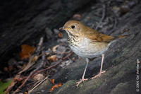 Image of: Catharus fuscescens (veery)