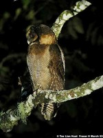 Brown Wood Owl - Strix leptogrammica