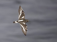 Black Turnstone (Arenaria melanocephala) photo