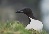 Thick-billed Murre (Uria lomvia) photo