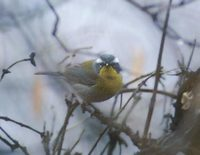 Crescent-chested Warbler (Parula superciliosa) photo